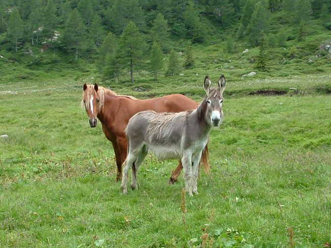 Cavallo e asino